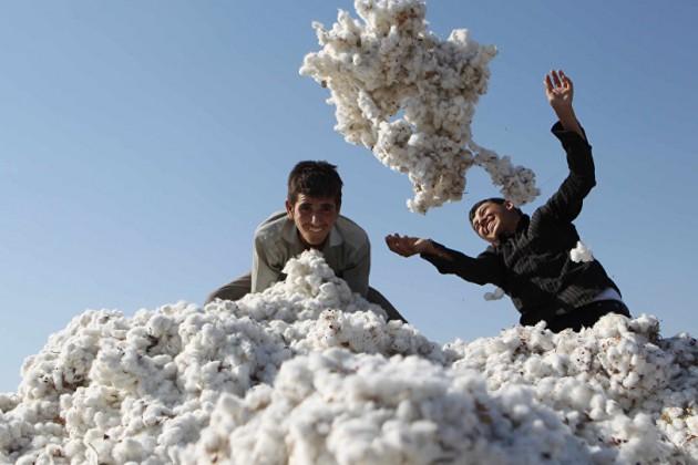Узбекистан реформирует систему управления хлопковой отраслью
